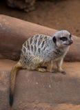 Meercat en roca Imágenes de archivo libres de regalías