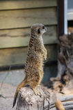 Meercat family in the zoo Stock Photo