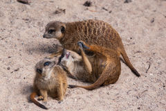 Meercat family in the zoo Stock Image