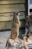Meercat family in the zoo Stock Photos