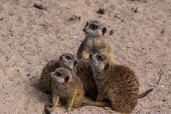 Meercat family in the zoo Stock Images