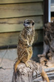 Meercat family in the zoo Royalty Free Stock Photos
