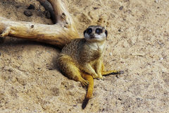 Meercat family in the zoo Royalty Free Stock Photography