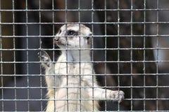 Meercat in gabbia Fotografie Stock