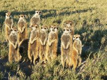 Meercat Group. 10 cute meercats standing on the African plains Stock Photo