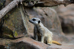 Meercat on guard. Meercat on look out for preditors and food Stock Photo