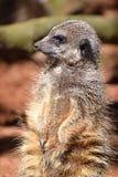 Meercat, habitante del desierto de África meridional fotos de archivo