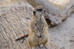 Meerkat on log. Meerkat sitting on a log in the Living Desert in Palm Springs, California, USA Royalty Free Stock Images