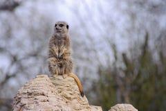 Meercat looking cute. Meercat looks cute sitting on rock Stock Photos