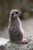 Meercat on lookout Stock Photo