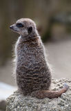 Meercat on lookout. A meercat on the lookout Stock Photo