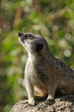 Meercat on lookout Royalty Free Stock Photo