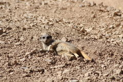 A meercat. Lying down in the desert Stock Images