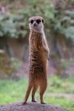 Meercat Meerkat Royalty-vrije Stock Foto's