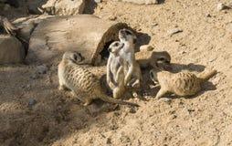 Meercat meerkat dieren in dierentuin Stock Afbeeldingen