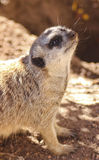 Meercat Meerkat face shot Stock Photo