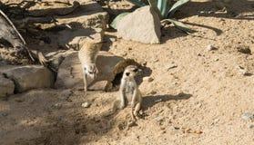 Meercat meerkat mammal wildlife looking animals Stock Photos