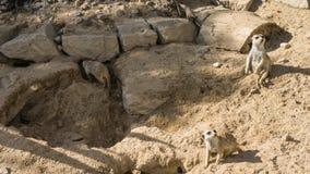 Meercat meerkat mammal wildlife looking animals Royalty Free Stock Photos