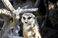 Meercat royalty free stock photography