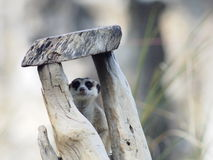 Meercat Royalty Free Stock Images