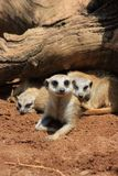 Meercat Mother with kids Royalty Free Stock Photography