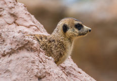 Meercat nello zoo di Transferrina Fotografia Stock Libera da Diritti