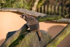 Meercat op een rots Stock Afbeelding