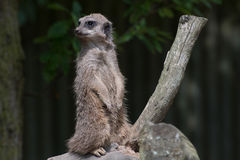 Meercat - op Wacht Suricata Surrcatta Royalty-vrije Stock Fotografie