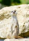 Meercat ostrzeżenie Obraz Royalty Free