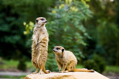 Meercat pair Stock Photo