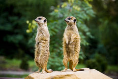 Meercat pair Stock Image