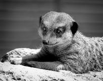Meercat-Porträt Lizenzfreie Stockfotos