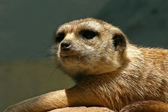 Meercat portrait. In the sunlight Royalty Free Stock Photography