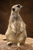 Meercat profile. A full-frame image of a meercat on alert, looking out for trouble royalty free stock images