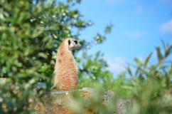 Meercat que senta-se na rocha Imagens de Stock Royalty Free