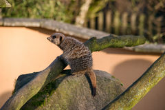 Meercat on a rock Stock Image