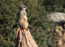 Meercat on a rock Royalty Free Stock Photos