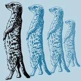 Meercat Sketch stock images