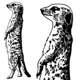Meercat Sketch - black and white royalty free stock images