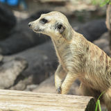 Meercat Stock Photos