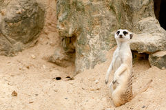 Meercat stand up and watch and looking. Meercat stand up and check something wrong Stock Photo