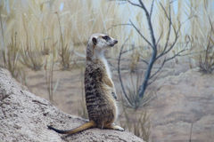 Meercat standing sentinel stock photography