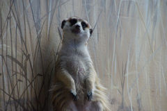 Meercat standing sentinel stock photo