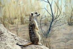 Meercat standing sentinel stock image
