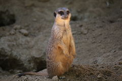 Meercat Stock Images