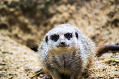 Meercat staring right at camera Stock Photos