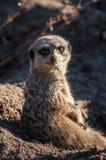 Meercat stellen auf Chester-Zoo gegenüber Stockbild