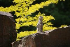 Meercat On Stone Royalty Free Stock Photos