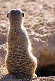 Meercat suricata. A small mammal standing in the desert Stock Photography