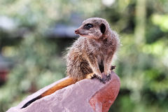 A meercat ( Suricata suricatta) Stock Images